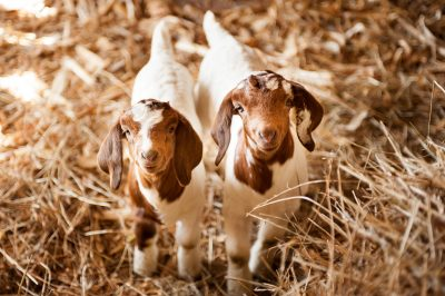 Two baby goats look up at the camera on a farm in Iowa