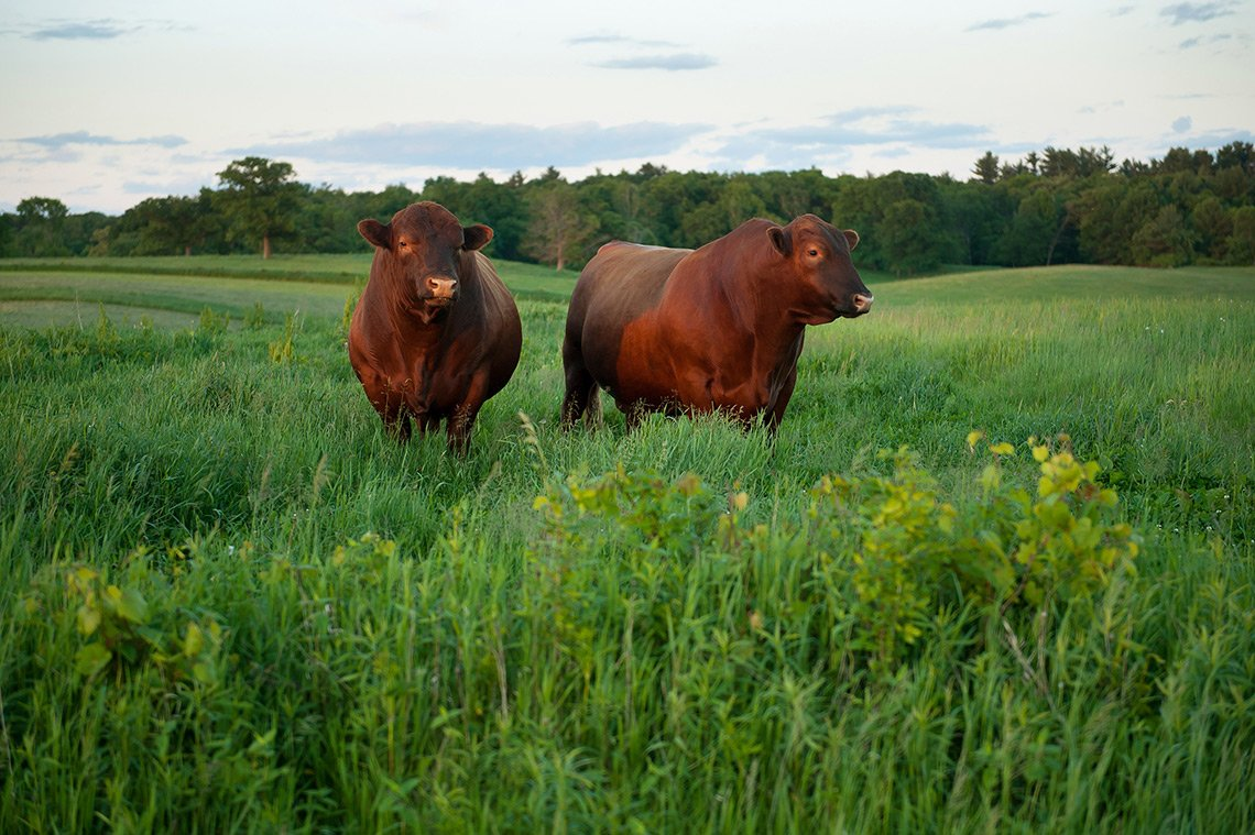 Two large bulls stand in a bright green field on a Wisconsin farm