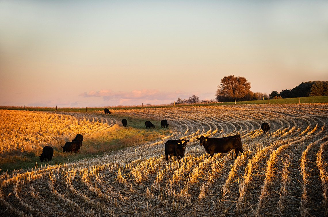 Agricultural photo of beef cows in a rural Minnesota field