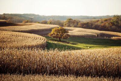 Farm life photo of corn fields in rural Minnesota