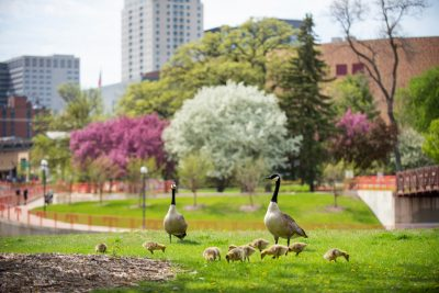 Canada geese with the Rochester Mn skyline