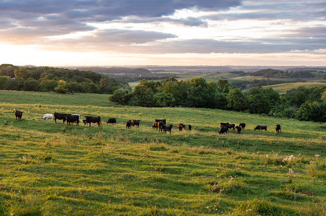 The rolling hills near Preston Mn showing grazing cows