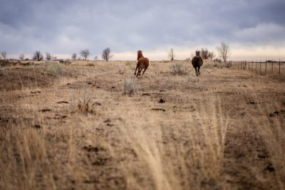 Horses running wild in a Colorado field.
