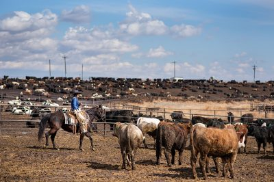 Editorial photography of cowgirl overseeing cows in Colorado
