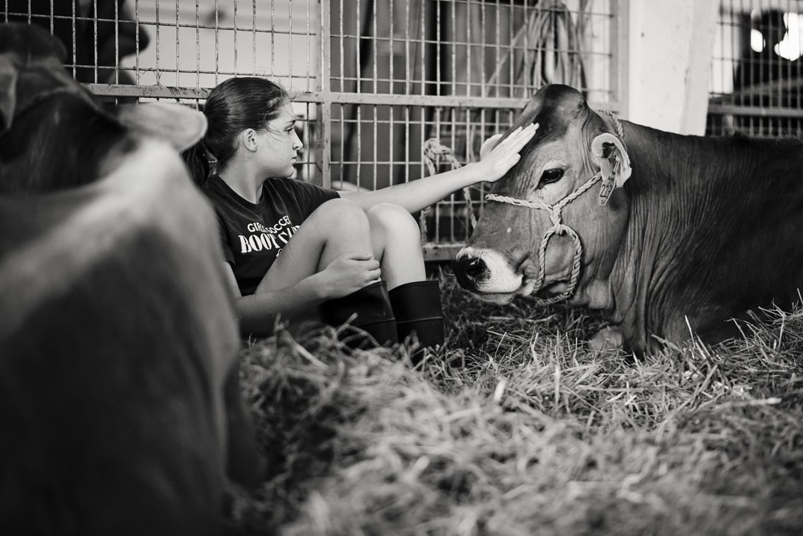 A teen girl pets a cow while sitting in the hay at the Olmsted County Fair in Rochester Mn