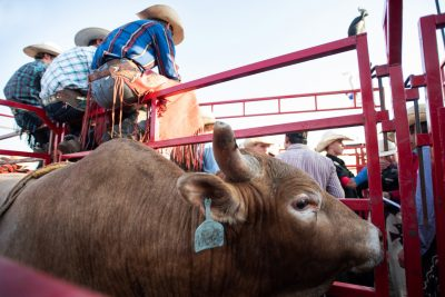 Editorial photo of riding sitting on gate at the rochester mn rodeo