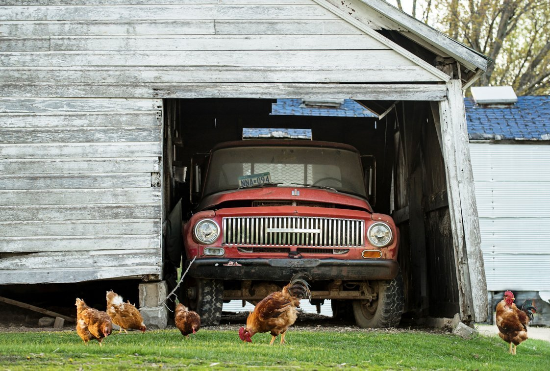 roosters in front of vintage truck