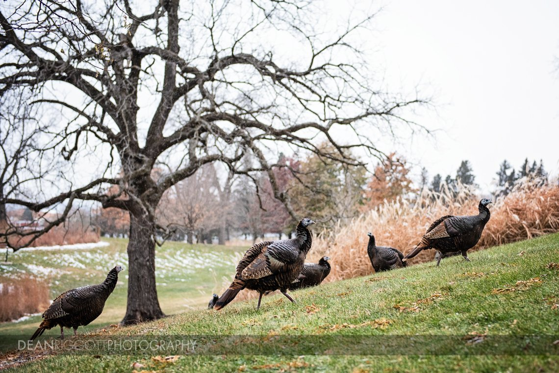 nature photography of wild turkeys