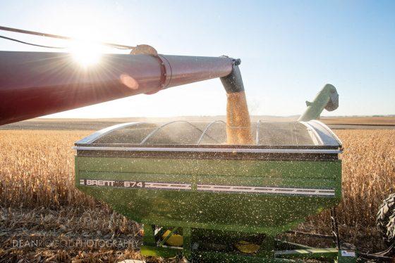 A combine fills a grain cart as it drives through a field of corn.